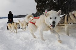 Traîne à chiens à Sacacomie