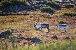 Caribous au Mont Albert