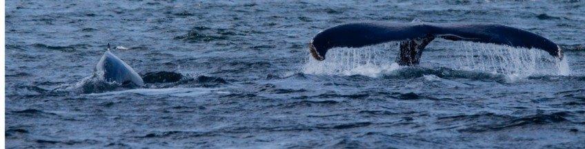 Guide d'observation des baleines à Tadoussac