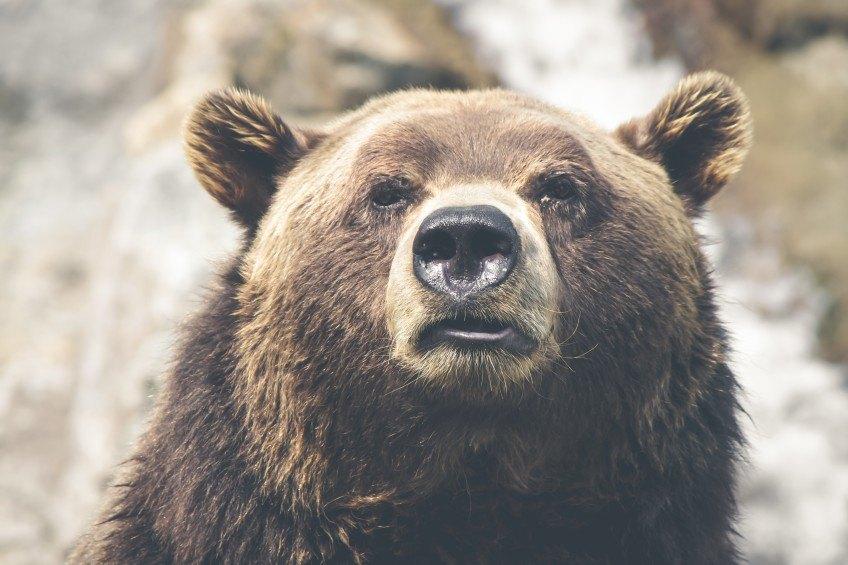 Quoi faire si vous rencontrez un ours?