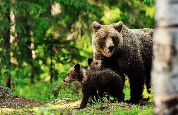 Safari photo à l'ours