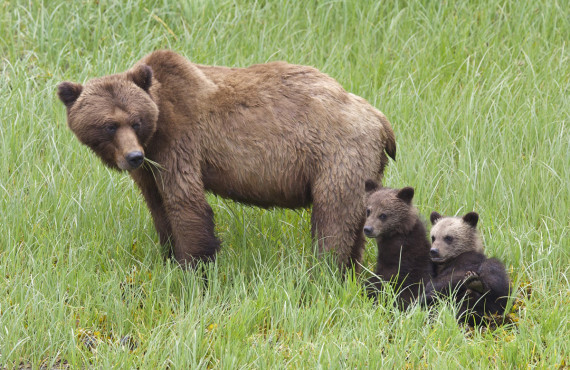 Grizzly with family