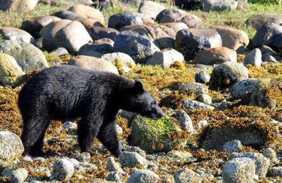 1-safari-ours-noir-p-rim