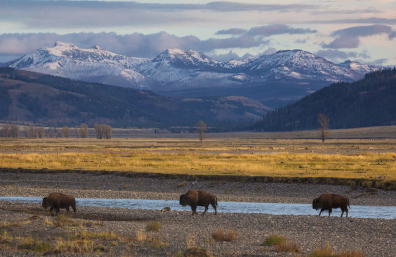 Bisons dans la Lamar Valley