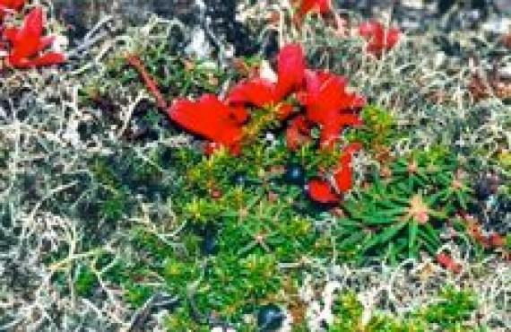 grand nord - fleurs arctiques
