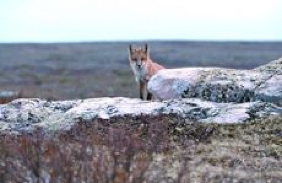 grand nord - renard