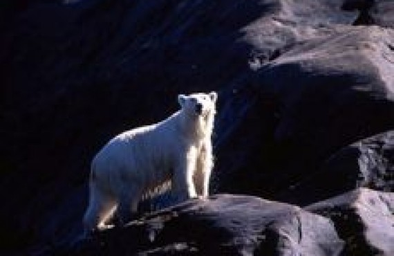 grand nord - ours polaire