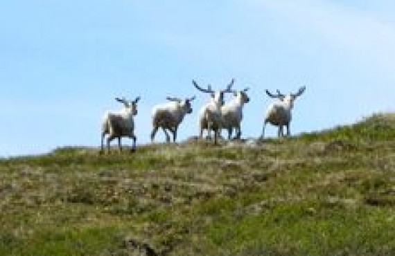 grand nord caribous -2