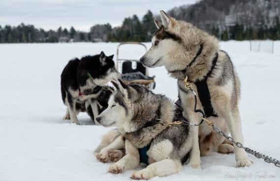 Attelage de traîneau à chiens