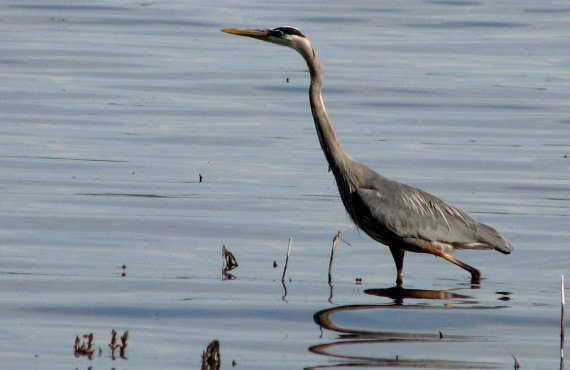 Great blue heron in Oka Park