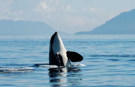 2-observation-orques-victoria-vancouver-bateau.jpg