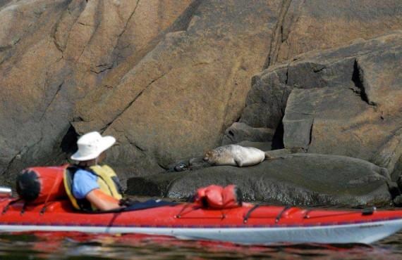 Observation des phoques en kayak