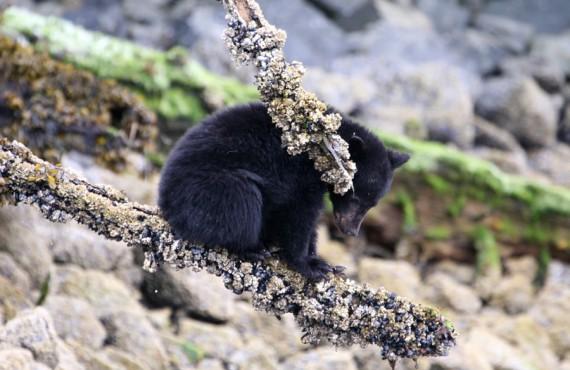 2-safari-ours-noir-p-rim