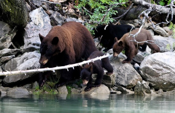 Famille d'ours en balade