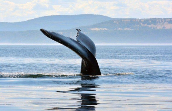 3-croisiere-baleine-bosse-quebec.jpg