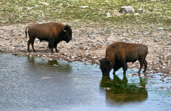 3-head-smashed-in-buffalo-jump-bisons