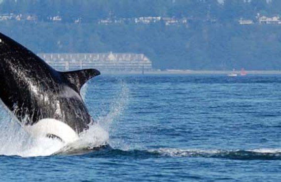 3-observation-orques-victoria-vancouver-bateau.jpg