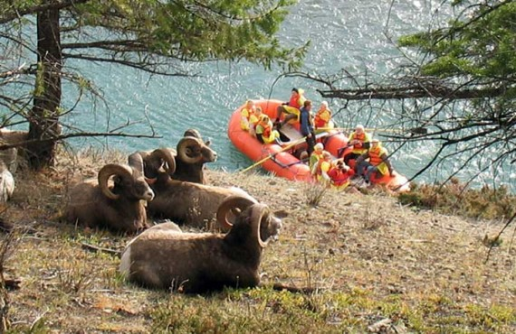 Mouflon and Rafting on the Athabasca