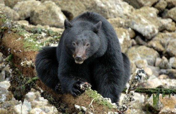 Safari ours noir