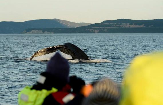Safari aux baleines en zodiac