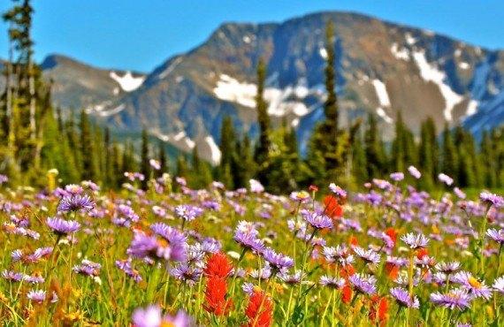 Fleurs alpines sur le Mont Trophy
