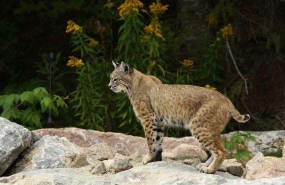 4-lynx-zoo-st-felicien.jpg