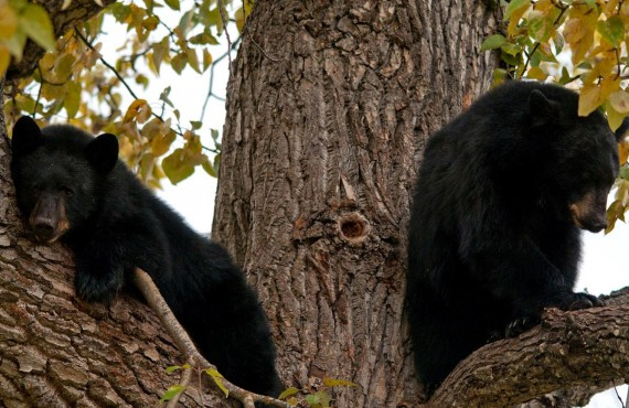 4-observation-grizzlys-ours