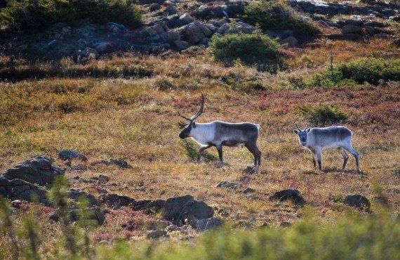 Caribous sur le mont Albert