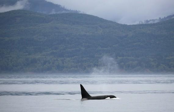 Une orque dans la brume