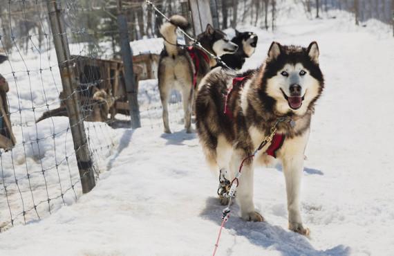 Traîneau à chien, ©Katerine photographe