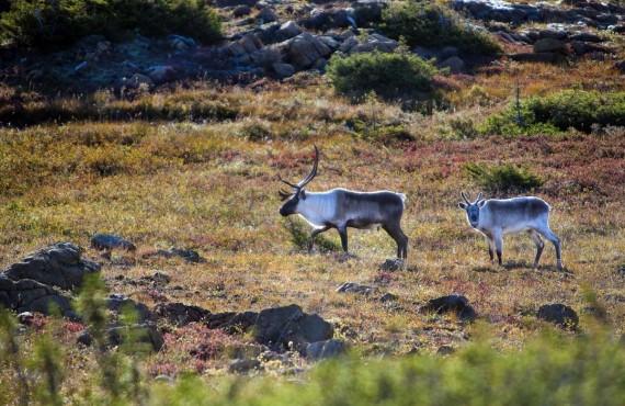 5-caribou-parc-gaspesie.jpg