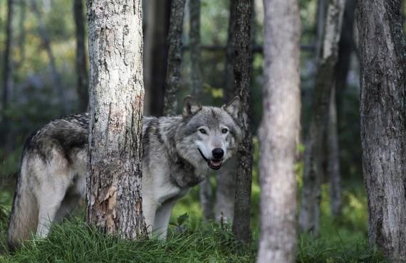 Loup gris dans le parc Oméga, Montebello, Outaouais