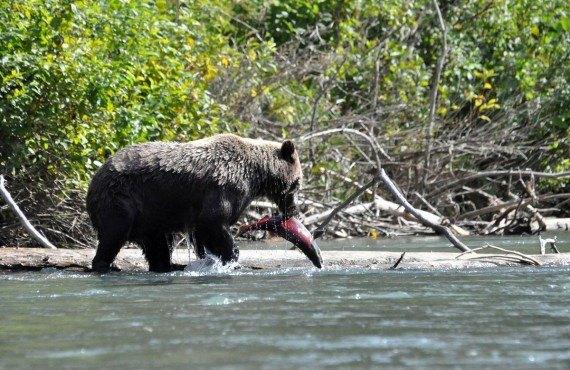 L'ours qui peche le saumon