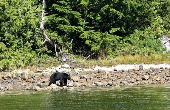 5-safari-ours-noir-p-rim