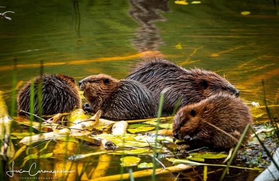 Les castors, ses barrages et son habitat