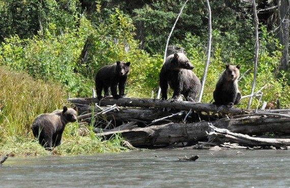 Observation des grizzlys