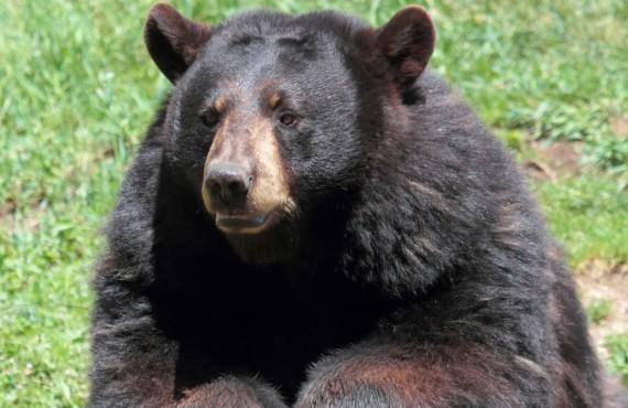 Ours noir dans le parc Oméga, Montebello, Outaouais