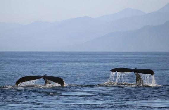 Queues de baleines