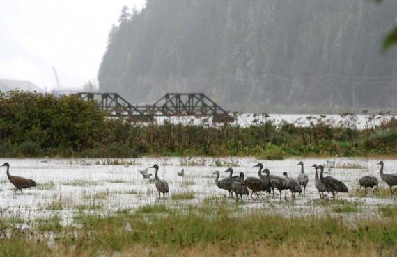 Auberge Ripley Creek - La Bernache du Canada