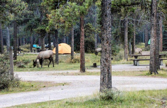 Camping du Mont Whistlers - Wapiti