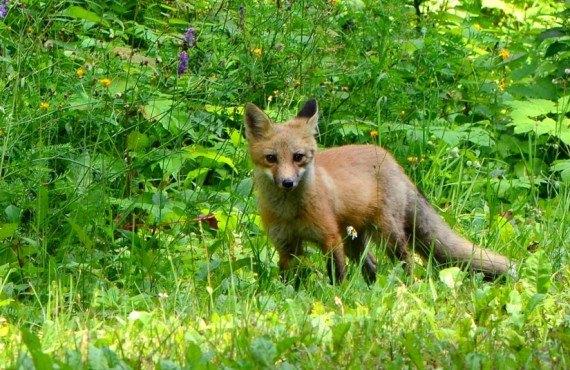 Parc de la Gaspésie - Rencontre d'un renard