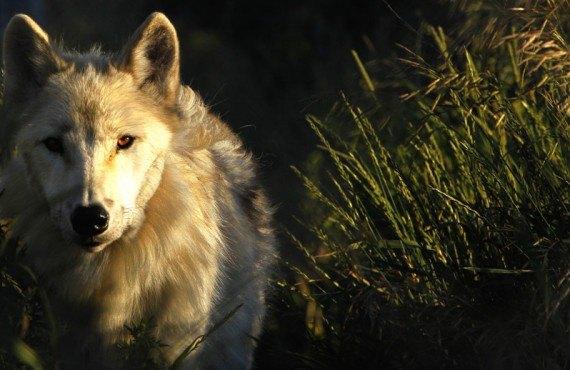 Ferme 5 étoiles - Contact avec les loups