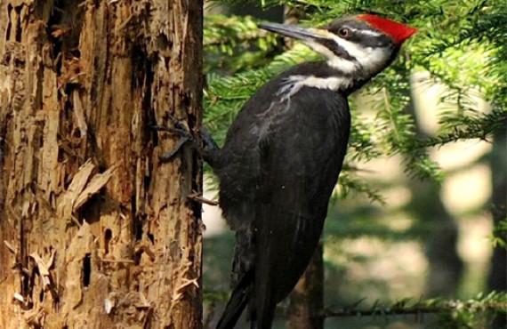 Observation d'oiseaux - Le Grand Pic