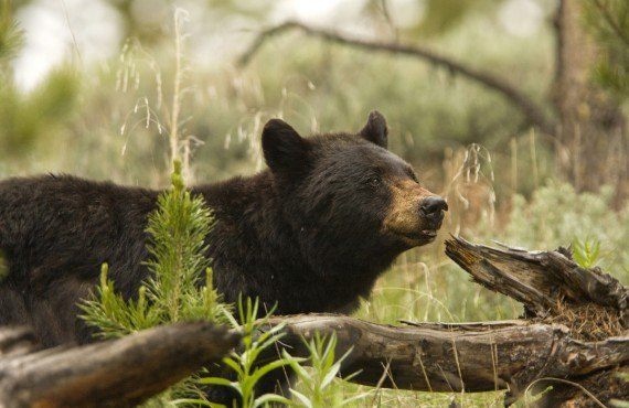 Safari photo - ours noir