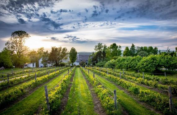 Vignoble sur l'île d'Orléans