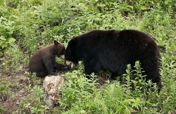 Ours noir et son petit
