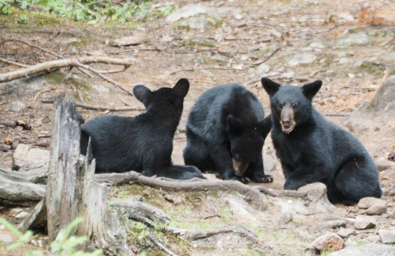Safari photo ours noir