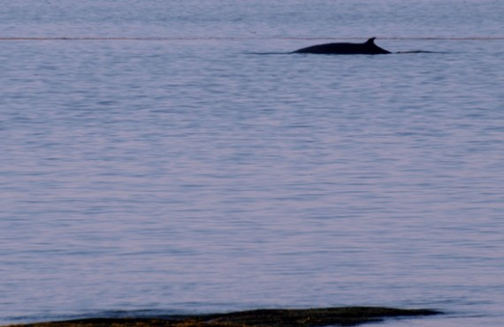 Camping Parc et Mer Mont-Louis - Observation des baleines
