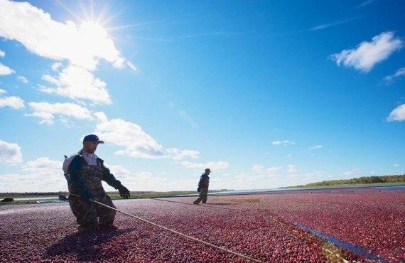 Cranberries picking