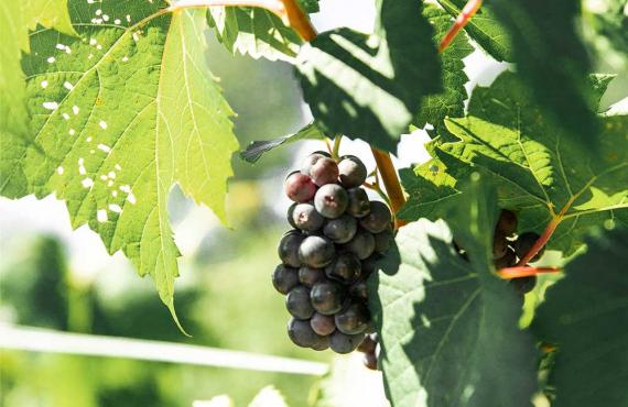 2-accueil-grappe-de-raisin.jpg